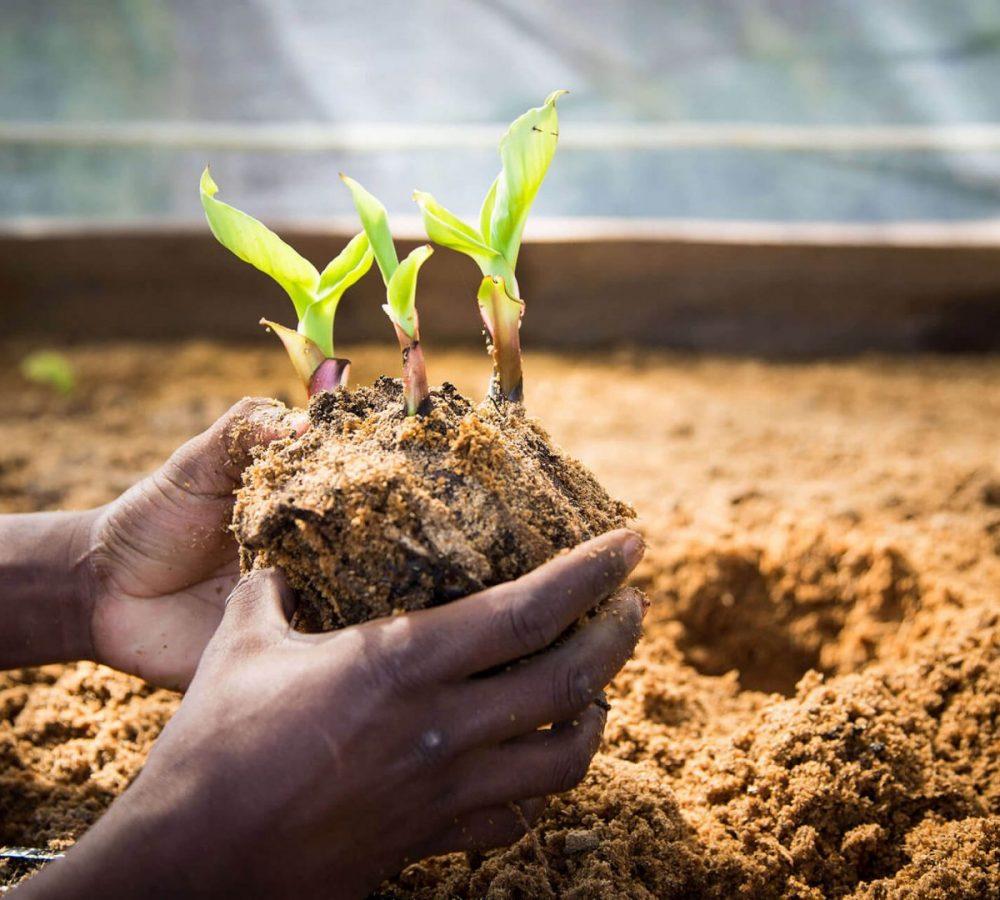 MercyShips_jordbruksprogram_banantreplanting_2